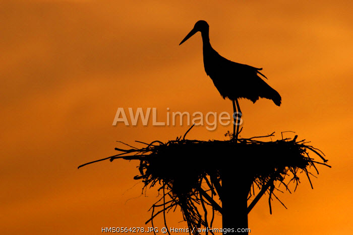 Spain, Estremadura, Caceres Province, White stork on nest (Ciconia ciconia)