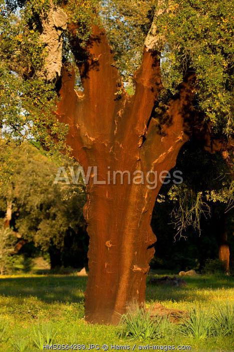 Spain, Estremadura, Caceres Province, Plasencia, Cork oak (Quercus suber) Monfrague National Park, UNESCO Biosphere Reserve