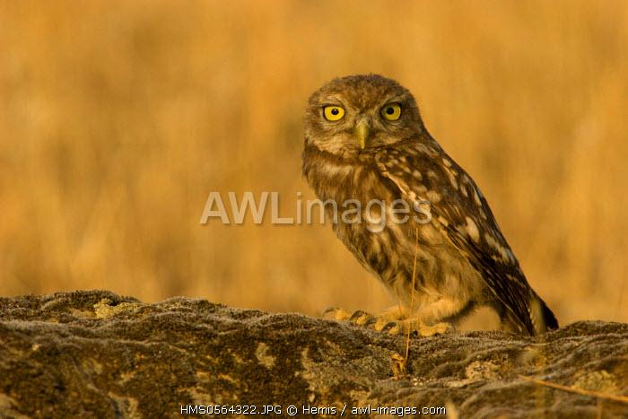 Spain, Estremadura, Caceres Province, Little Owl (Athene noctua)