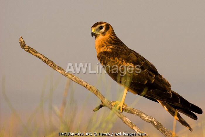 Spain, Estremadura, Caceres Province, Montagu's Harrier (Circus pygargus)