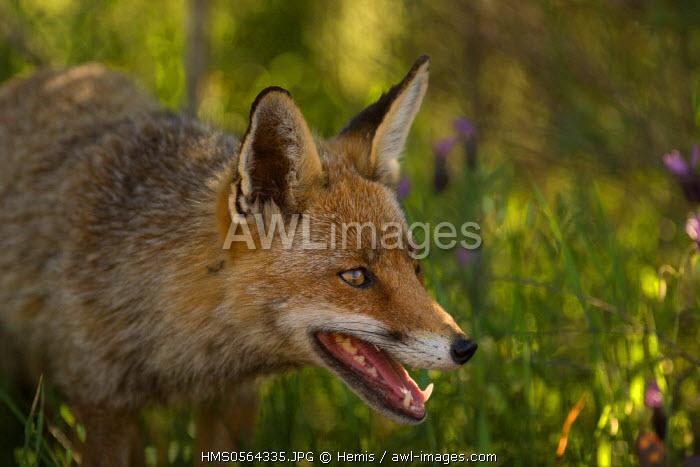 Spain, Estremadura, Caceres Province, Plasencia, Red Fox (Vulpes vulpes) in the Monfrague National Park, UNESCO Biosphere Reserve