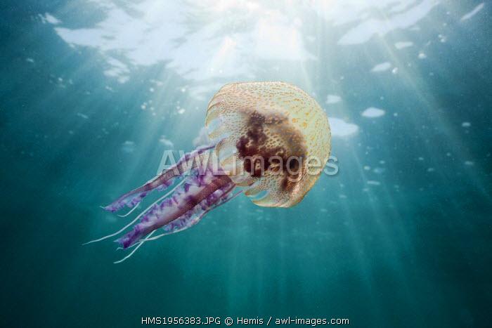 Spain, Costa Brava, Cap de Creus, Pelagia noctiluca, Mauve Stinger Jellyfish