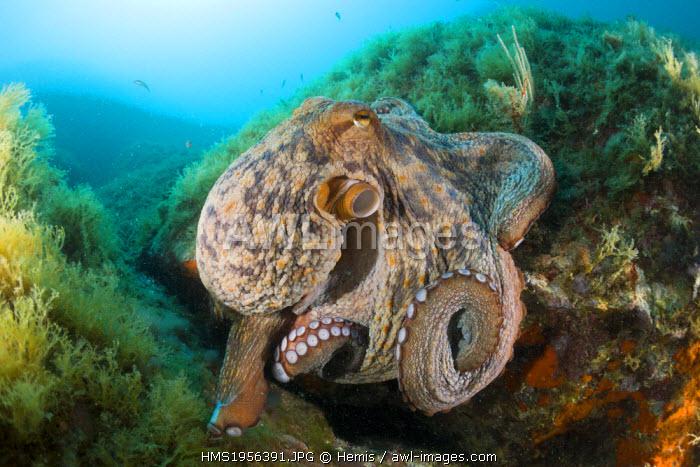 Spain, Costa Brava, Cap de Creus, Octopus vulgaris, Common Octopus over Reef