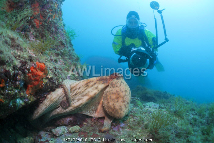 Spain, Costa Brava, Cap de Creus, Octopus vulgaris, Common Octopus and Underwater photographer