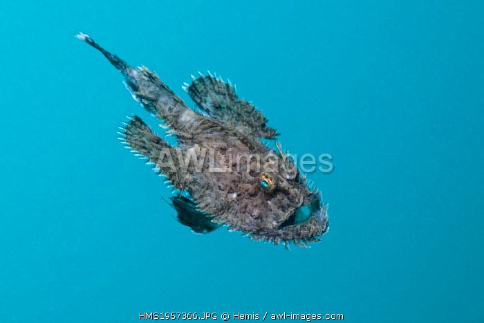 Spain, Costa Brava, Cap de Creus, Lophius budegassa, Short-spined Anglerfish