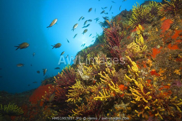 Spain, Costa Brava, Tamariu, Chromis chromis, Paramuricea clavata, Variable Gorgonians and Mediterranean Damselfish