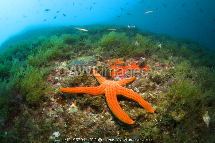 Spain, Costa Brava, Cap de Creus, Echinaster sepositus, Red Starfish in Coral Reef