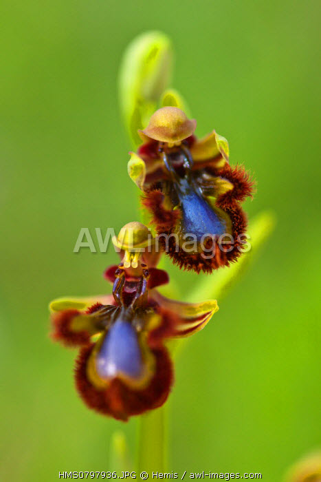 Spain, Community of Madrid, Villaconejos, terrestrial orchid in Europe, Ophrys speculum, flowers mimic the reflection of the sky on the wings of a female wasp