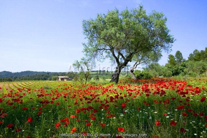 Spain, Catalonia, Parque Natural dels Ports, near Tortosa, Horta de Sant Joan, Olive trees