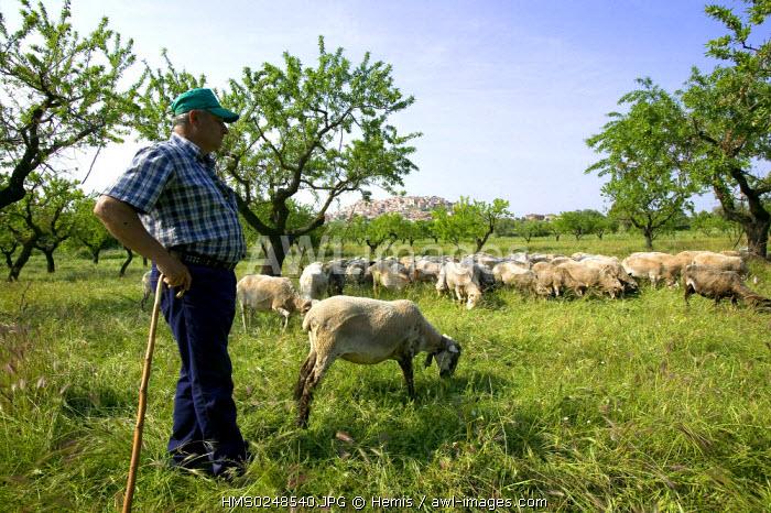 Spain, Catalonia, Parque Natural dels Ports, near Tortosa, Horta de Sant Joan, herd of ewes