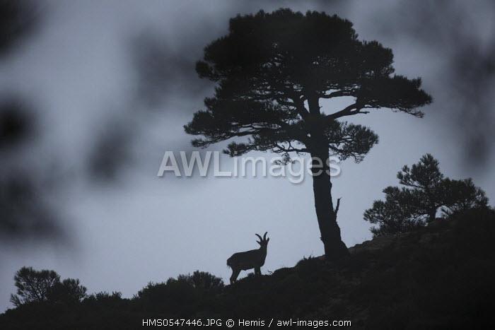 Spain, Catalonia, Naturel Park of El Port, the Spanish ibex (Capra pyrenaica hispanica)