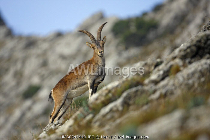 Spain, Catalonia, Naturel Park of El Port, the Spanish ibex (Capra pyrenaica hispanica)