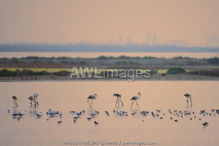 Spain, Catalonia, Natural Park of the Ebro Delta, flamingo (Phoenicopterus ruber)