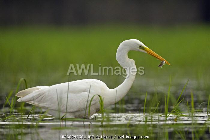 Spain, Catalonia, Natural Park of the Ebro Delta, great egret (Egretta alba) catches a fish