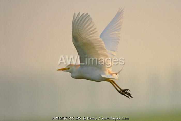 Spain, Catalonia, Natural Park of the Ebro Delta, cattle egret (Bubulcus ibis)