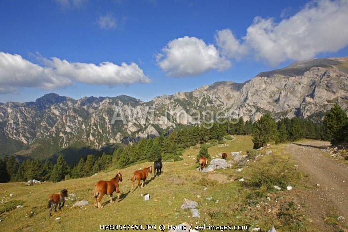 Spain, Catalonia, Natural Park of Cadi el Moixero, Sierra del Cadi, Catalan horses