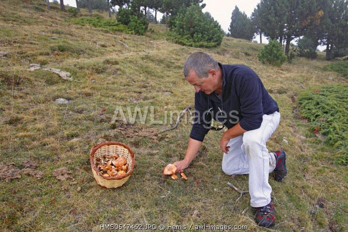 Spain, Catalonia, Natural Park of Cadi el Moixero, Sierra del Cadi, mushroom picking