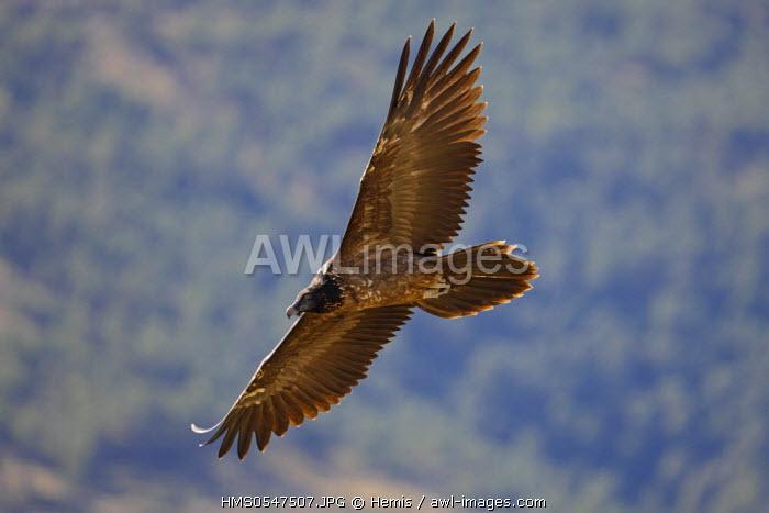 Spain, Catalonia, Natural Park of Cadi el Moixero, Sierra del Cadi, bearded vulture (Gypaetus barbatus)