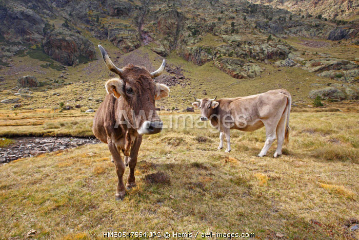 Spain, Catalonia, Natural Park of Alt Pirineu, cows