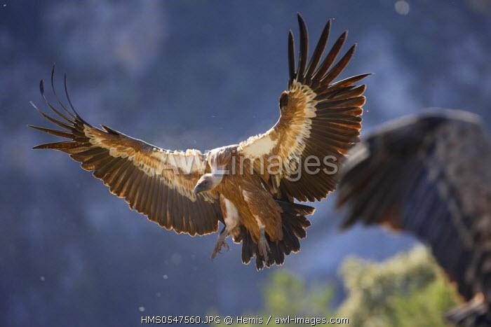 Spain, Catalonia, Natural Park of Cadi el Moixero, Sierra del Cadi, griffon vulture (Gyps fulvus)
