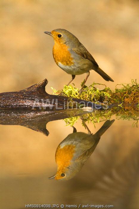 Spain, Catalonia, Lleida Province, Baen, European Robin (Erithacus rubecula), drinking