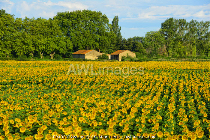 Sunflower field in Camargue, Languedoc- Roussillion, France, Europe