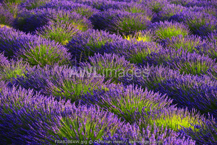 Lavender Field near Valensole, Provence Alpes Cote d'Azur, Provence, France, Europe
