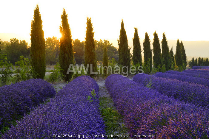 Lavender Field near Roussillion, Provence Alpes Cote d'Azur, Provence, France, Europe