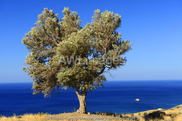 Lone tree on the coast, Lendas, South Coast, Crete, Greece, Europe