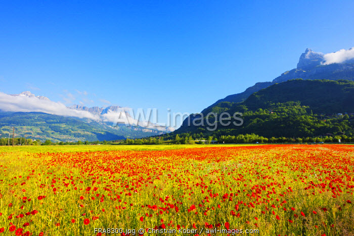 Europe, France, Haute Savoie, Rhone Alps, Poppy field and aiguille du Varan (2544m)
