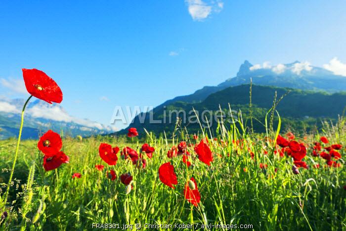 Europe, France, Haute Savoie, Rhone Alps, Poppy field and aiguille du Varan (2544m)