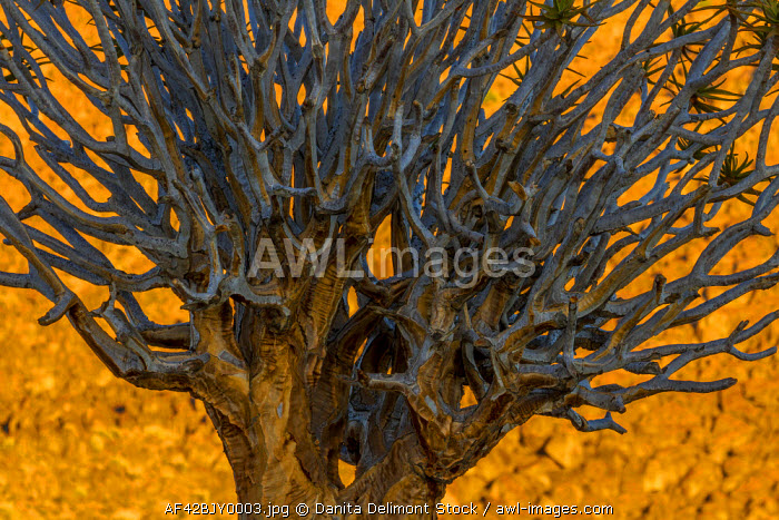 Africa, South Africa, Richtersveld National Park. Close-up of quiver tree.