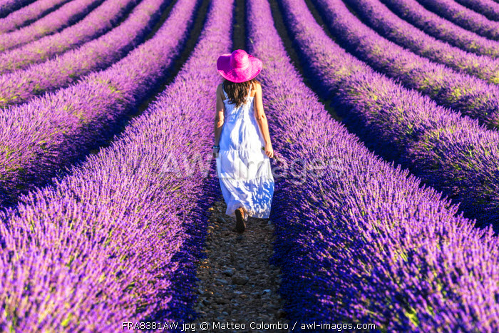 France, Provence Alps Cote d'Azur, Haute Provence, Plateau of Valensole. Woman with white dress in lavender field (MR)