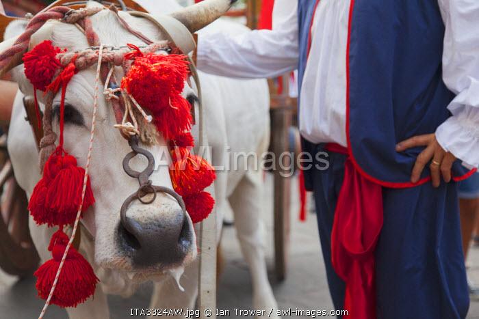 Bull in procession of St Emygdius in Piazza Arringo, Ascoli Piceno, Le Marche, Italy