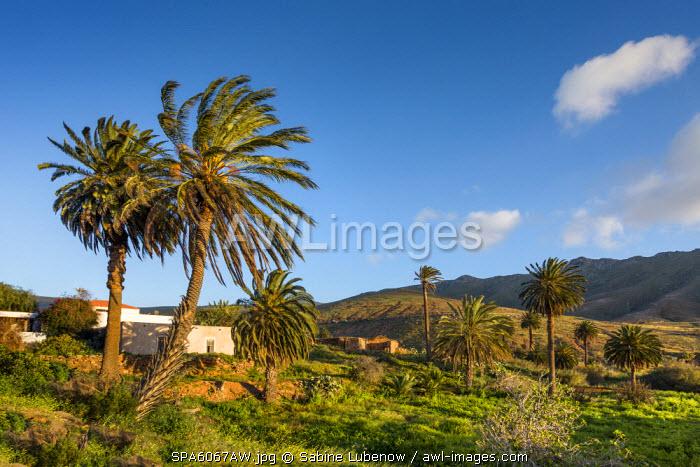 Palm tree, oasis Vega de Rio de las Palmas, Fuerteventura, Canary Islands, Spain