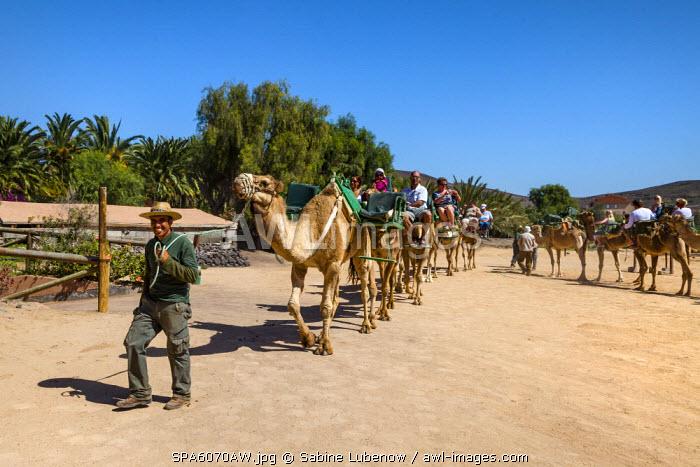 Camel safari, Oasis Park, La Lajita, Fuerteventura, Canary Islands, Spain