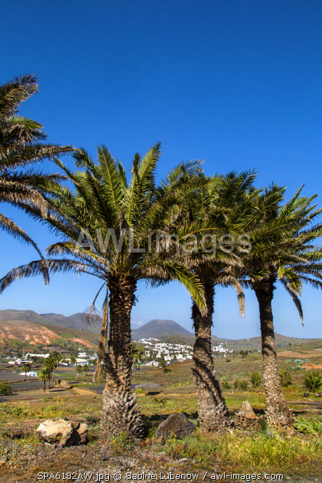 Palm trees, Haria, Lanzarote, Canary Islands, Spain