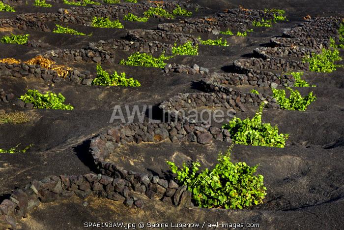 Wine plants, wine region La Geria, Lanzarote, Canary Islands, Spain