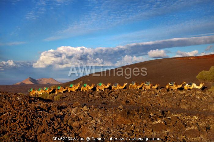 Camel safari, Timanfaya national park, Parque Nacional de Timanfaya, Lanzarote, Canary Islands, Spain