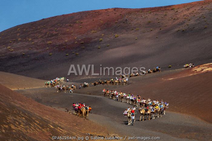 Camel safari, Timanfaya national park, Parque Nacional de Timanfaya, Lanzarote, Canary Islands, Spain