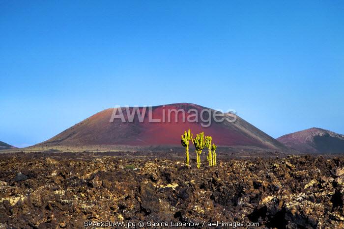 Cactus, Caldera Colorada, Parque de los Volcanes, Lanzarote, Canary Islands, Spain