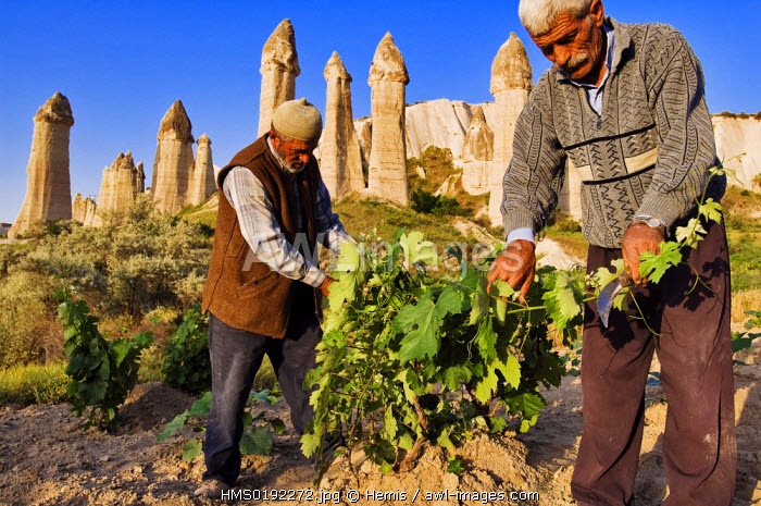 Turkey, Central Anatolia, Cappadocia, listed as World Heritage by UNESCO, near Uchisar village, Mehmet Sisman and Mehmet Bektas work in the fields of Asiklar Vadisi (Asiklar Valley)