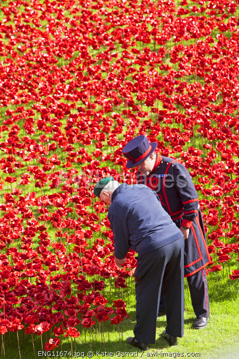 UK, England, London. A veteran of the First World War planting a ceramic poppy at Blood Swept Lands and Seas of Red, a major art installation at the Tower of London, marking one hundred years since the first full day of Britain's involvement in the First World War.