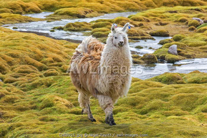 Chile, Atacama Desert, Machuca, Antofagasta Region, El Loa Province. A fine Llama. These domesticated camelids are prized for their very soft wool. They are also used in South America as a meat and pack animal.