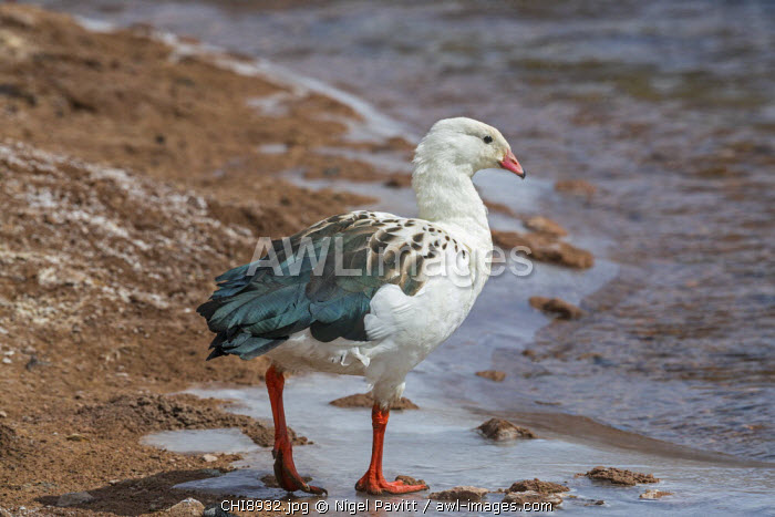 Chile, Atacama Desert, Machuca, Antofagasta Region, El Loa Province. An Andean Goose.