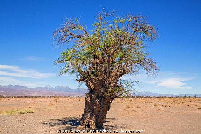 Chile, Atacama Desert, San Pedro de Atacama, Antofagasta Region, El Loa Province. An ancient Chilean mesquite tree growing near the San Pedro de Atacama oasis.