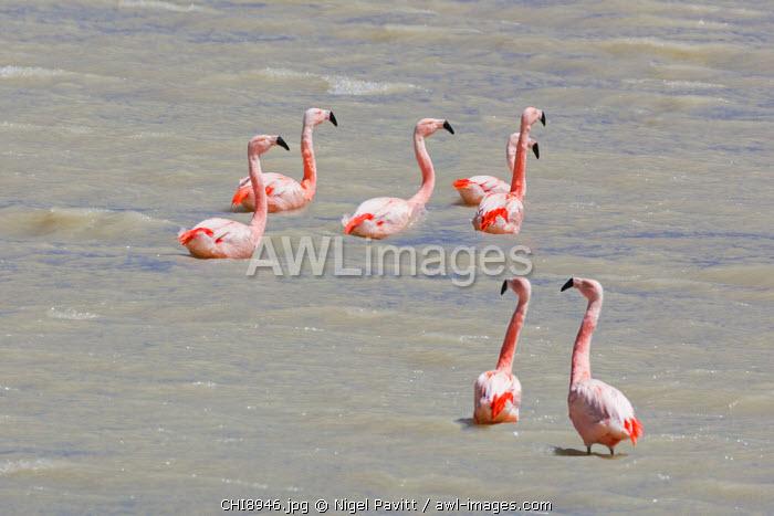 Chile, Atacama Desert, Altiplano; Tara Salt Flats; Antofagasta Region, El Loa Province. Chilean flamingos in a lagoon of the Tara Salt Flats.