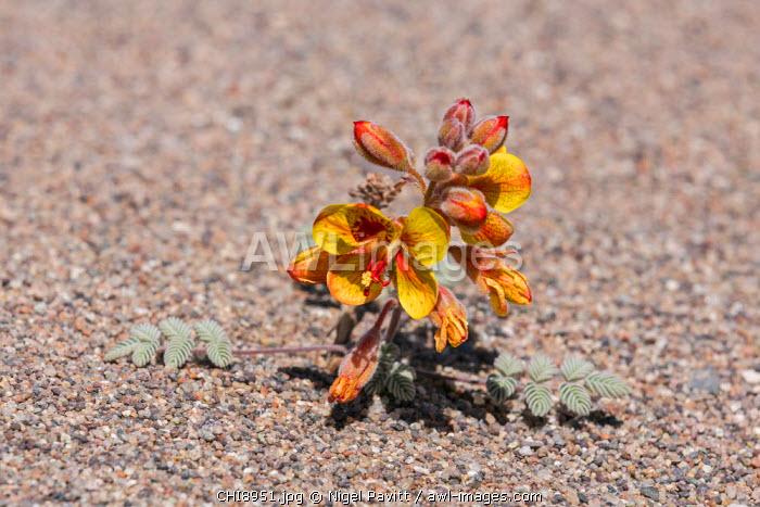 Chile, Atacama Desert, Antofagasta Region, El Loa Province. A small desert plant, Hoffmanseggia doelli, flowers in inhospitable conditions.