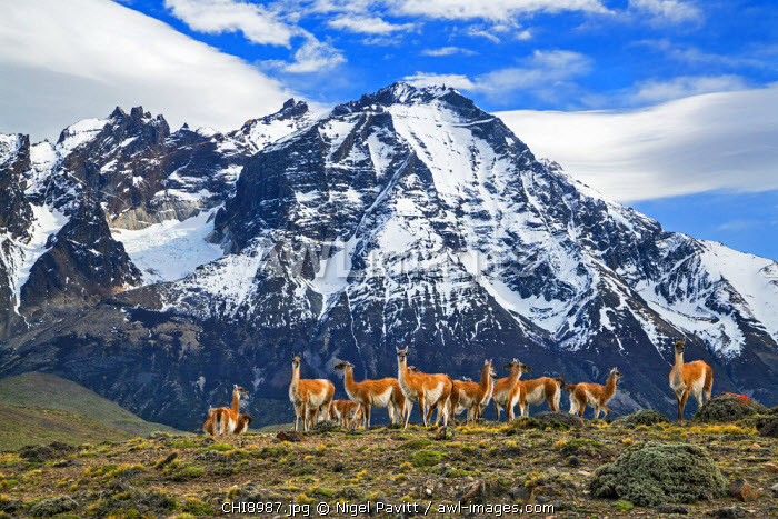 Chile, Torres del Paine, Magallanes Province. A herd of Guanacos in front of Almirante Nieto mountain which forms part of the Paine Massif after which the national park is named.
