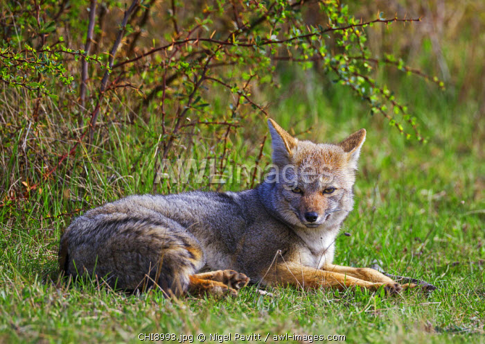 Chile, Torres del Paine, Magallanes Province. A Patagonian or South American Gray Fox.